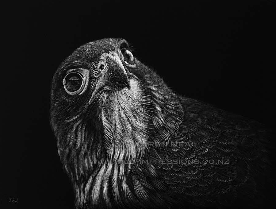 Karearea new zealand native falcon by nz wildlife artist karen neal