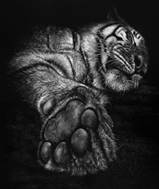 "BBC wildlife artist finalist. Scratchboard ""Paws for Thought"" of a tiger by NZ wildlife artist Karen Neal"